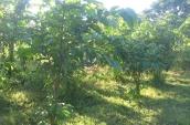 plantation-under-cooch-behar-fda